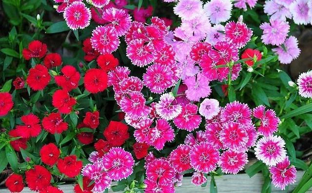 Hoa có các màu đen, đỏ, vàng, xanh, trắng, cam, tạo nên nhiều nên nét đẹp riêng biệt mà nhiều loài hoa không sánh được.