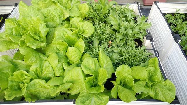 Những luống rau được trồng và bố trí rất ngăn nắp, khoa học và đẹp