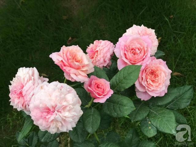 Bên cạnh đó, chị còn trồng thêm hồng ngoại.