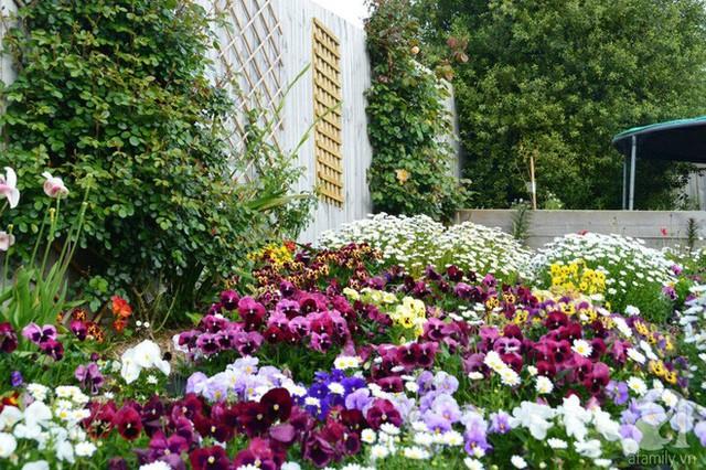 Tường rào được chị trồng rất nhiều hồng leo.