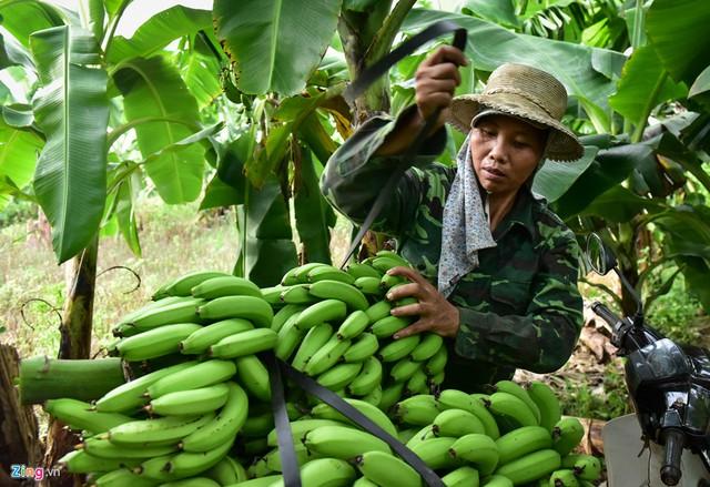Chị Giới ở Mai Động, Kim Động, Hưng Yên cho biết 3 năm trước, gia đình đã vay số tiền lớn để trồng hơn 4 ha chuối. Năm ngoái, cơn bão làm cho nhà chị bị đổ mất 3 ha. Năm nay, chị bị ngập mất một ha. Giá chuối lại giảm mạnh nên gia đình chị gần như không có lãi.