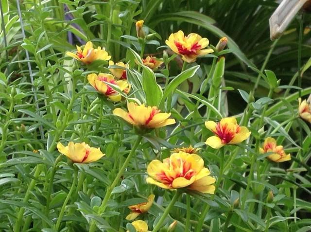 Hoa sam vàng