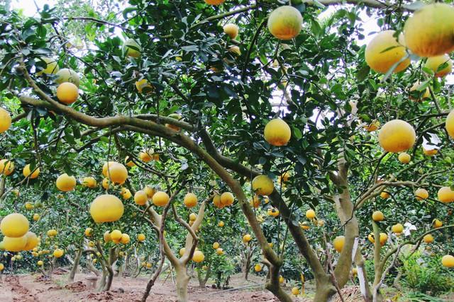 Những trái bưởi Diễn vị ngọt thơm có giá tại vườn từ 50.000 – 70.000 đồng/quả.