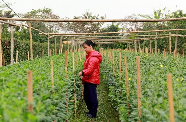 Đối với chị Lê Thu Hồng (tổ dân phố Trung 7, phường Tây Tựu) cũng như nhiều người trồng hoa tại Tây Tựu được mùa hay mất mùa phụ thuộc không nhỏ vào thời tiết. Ảnh:K.O