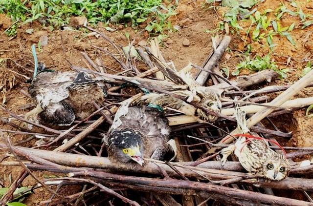 Bốn cá thể chim quý hiếm bị tiêu hủy vì mang mầm bệnh. Ảnh: V.Thu