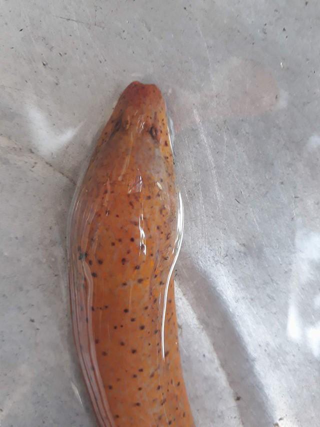 Huế: Bắt được lươn vàng có đốm đen kỳ lạ, trả tiền triệu không bán