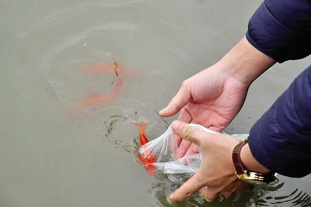 Thả cá chép phải thả từ từ, nhẹ nhàng, để tránh những va chạm mạnh có thể làm cá chết. Ảnh minh họa