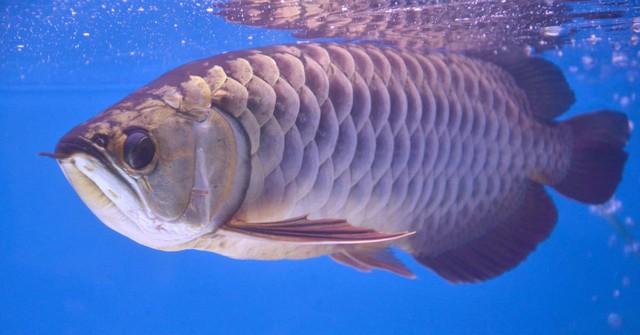 Cá rồng châu Á có thân hình cong mềm mại tựa như rồng, bộ vảy sáng lấp lánh. (Ảnh: CNBC)