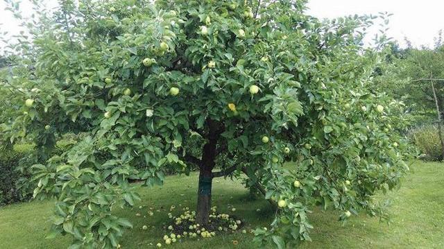 Khu vườn của anh rộng 400m2, trồng nhiều loại cây, hoa, rau. Trong đó có bốn cây táo, năm nào cũng cho thu hoạch sọt lớn, sọt bé. Trong ảnh là một cây táo hơn 2 năm tuổi, tuy tán bé nhưng đã rất sai quả.