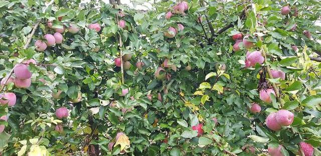 Hai trong số 4 cây táo của tôi đã trồng 10 năm, cho thu hoạch gấp nhiều lần cây 2 năm tuổi. Có năm vườn cho thu hoạch gần 400 kg. Nhiều lúc ăn và biếu không xuể, rụng đầy gốc, anh nói.