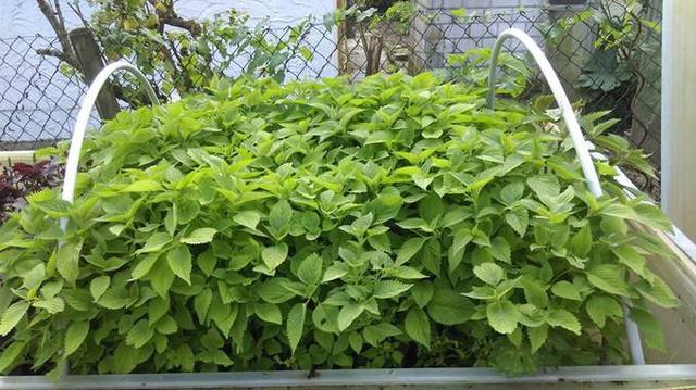 Ngoài cây ăn quả, trong khu vườn của anh ưu tiên trồng nhiều loại rau thơm của Việt Nam vì ở Đức không có rau thơm để ăn hoặc có thì rất đắt. Vì Đức là xứ lạnh nên anh Hùng chỉ trồng rau Việt Nam từ tháng 5 đến tháng 10 hàng năm.