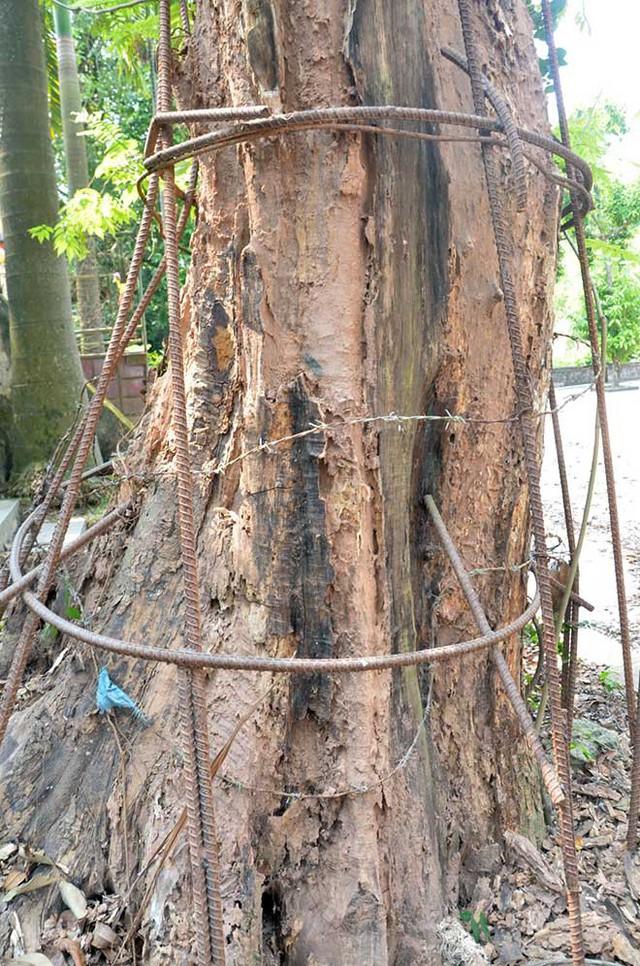 Do mức độ đắt đỏ của cây nên để tránh mất trộm, người dân phải quấn dây thép bảo vệ cây sưa.