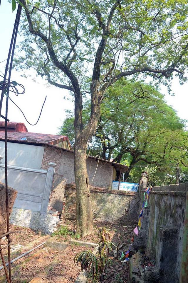Bên cạnh cây sưa 130 năm tuổi ở chùa Phụ Chính vẫn còn một cây sưa cũng có tuổi đời gần trăm năm tuổi. Vào năm 2010, cây sưa này cũng từng được thương lái đến trả giá gần 50 tỷ đồng.