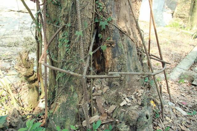 Phần gốc của cây gỗ sưa.