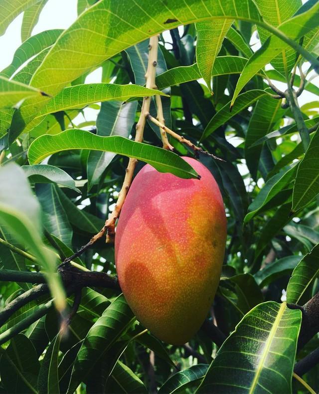 Trái xoài trên cây sẽ chuyển dần từ màu xanh sang màu đỏ hồng.
