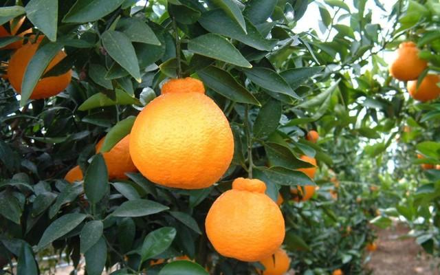 Dekopon, hay Sumo Fruit, là một loại cam nổi tiếng đắt đỏ xuất xứ từ Nhật Bản.