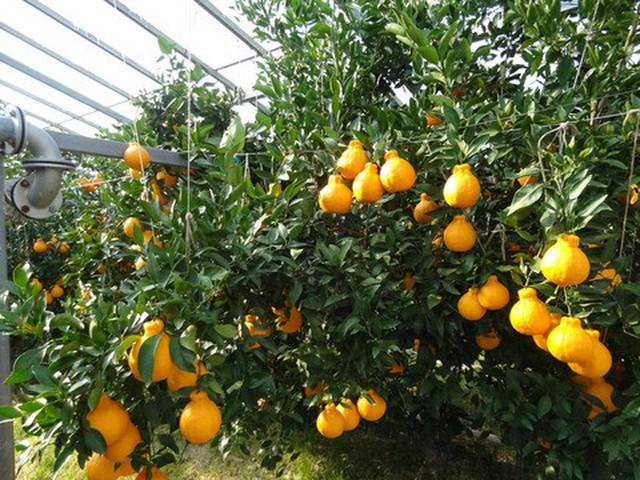 Sau khi thu hoạch, cam lai quýt Dekopon được để khoảng 20-40 ngày cho lượng axit citric trong trái cây thấp hơn, đồng thời lượng đường tăng lên, tạo ra hương vị hấp dẫn.
