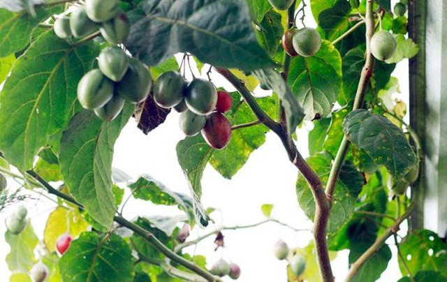 Cây cà chua thân gỗ hiện được trồng nhiều tại Lâm Đồng khiến chúng trở nên phổ biến hơn.