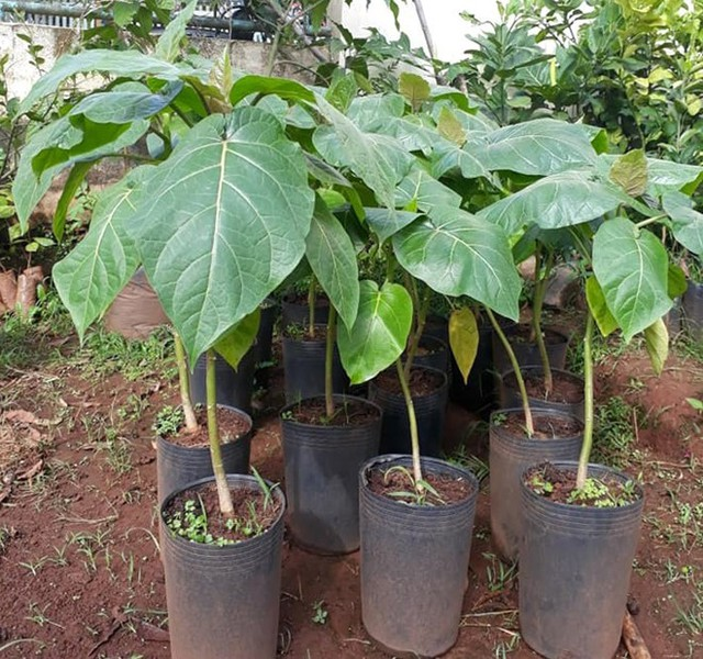 Giống cây cà chua thân gỗ tại TP.HCM hiện còn 250.000 đồng/cây, trong khi đó, các nhà vườn tại Lâm Đồng, Đắk Lắk chỉ hơn 100.000 đồng/cây.