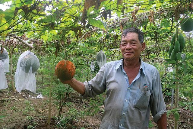 Ông Nhiều đi tiên phong trong việc trồng gấc ở Tà Lọt