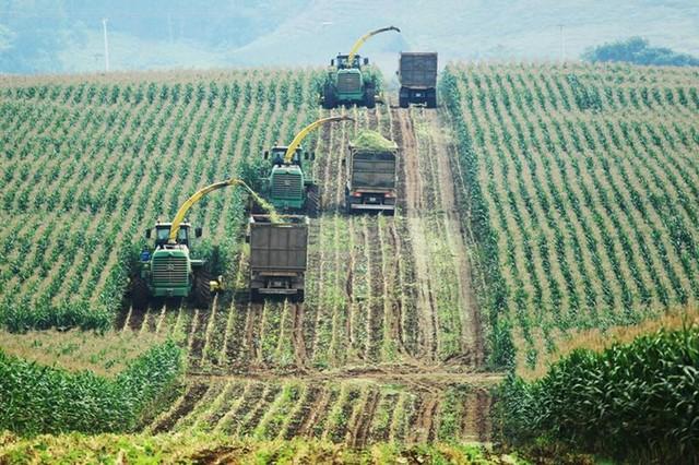 Những cánh đồng ngô hữu cơ xanh ngút tầm mắt tại trang trại TH, được thu hoạch bằng máy móc hiện đại nhất thế giới, sẽ cung cấp thức ăn tươi sạch quanh năm cho đàn bò hữu cơ của TH.