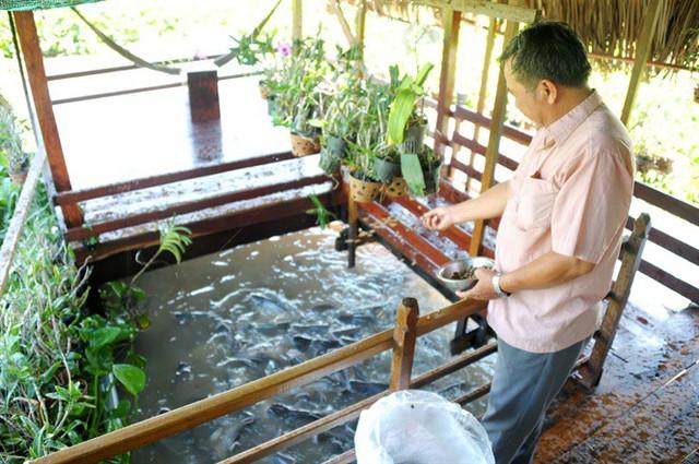 Mỗi ngày ông Cường tốn từ 300.000 – 500.000 đồng tiền thức ăn để nuôi cá tra thiên nhiên