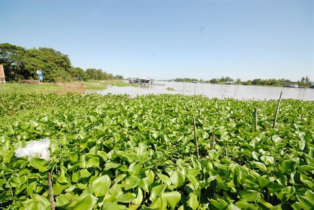 Vùng nuôi cá tra thiên nhiên của ông Cường nằm cặp bờ sông Vĩnh Ngươn (thuộc một nhánh của sông Hậu)