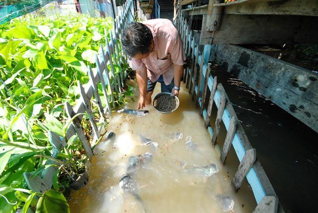 Bây giờ, đàn cá quen thuộc đến độ ông Cường có thể sờ vào đầu chúng mỗi khi cho ăn và xem đó như một niềm vui