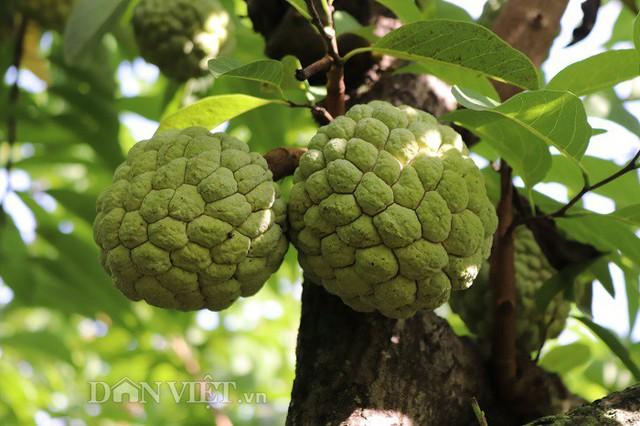 Theo anh Đức, quả na thụ phấn ở thân cây cho chất lượng quả to, ít hạt, ngọt sắc không địa phương nào có được nên được khách hàng rất ưa chuộng