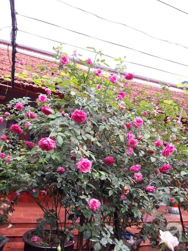 Chị trồng đủ loại hồng ở lối đi từ cổng vào sân nhà và khoảng vườn rộng.
