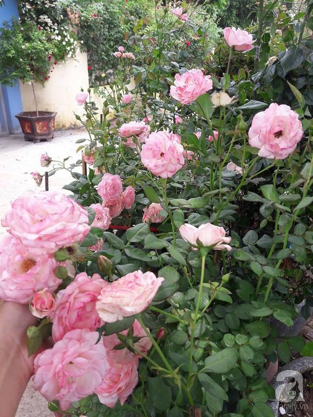 Từng chùm hồng nở duyên dáng trong vườn.