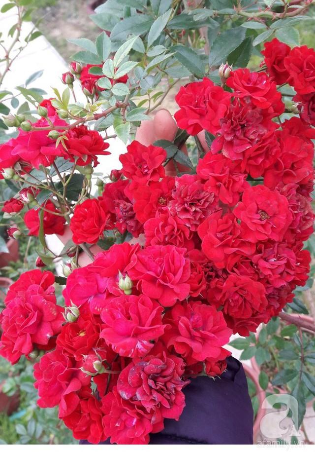 Những chùm hồng đẹp nức lòng ai ngắm cũng mê.
