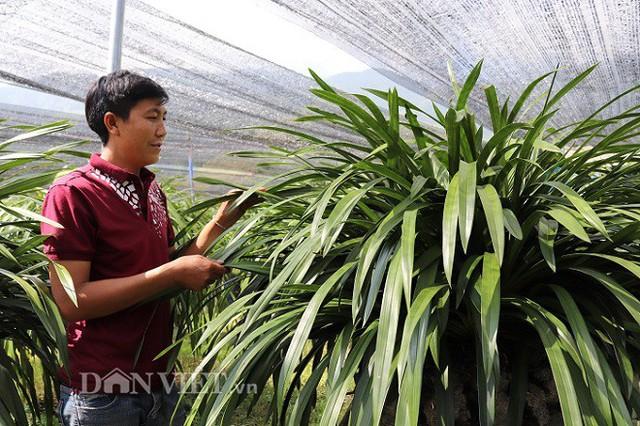 Để có những giống địa lan Trần mộng tốt nhất, khả năng ra mầm hoa cao nhất A Chia đã phải đi tận xã Dào San, huyện Phong Thổ, tỉnh Lai Châu để tìm giống