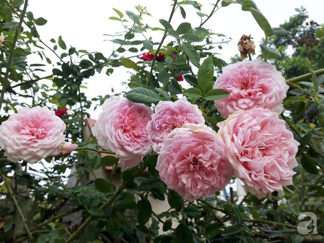 Chị trồng cả hồng nội lẫn hồng ngoại.