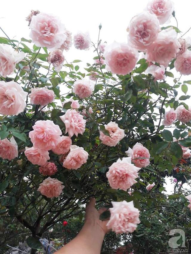 Những gốc hồng cổ đẹp mê mẩn tỏa hương bên sân nhà.