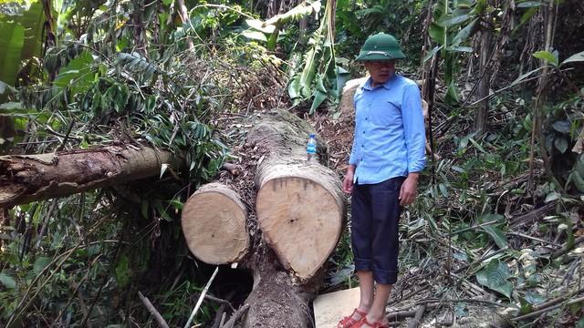 Ông Lương Văn Phúc – Trưởng phòng NN&PTNT huyện Lang Chánh bên những tấm bìa gỗ mới khai thác còn sót lại. Ảnh: N.H