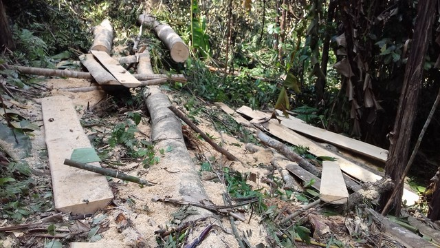 Những tấm gỗ mới khai thác còn sót lại.