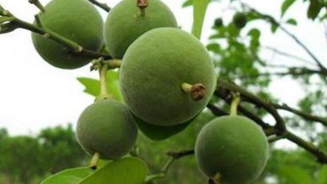 Bưởi Hóa Châu thường được trồng trên sườn núi, sau 3 năm bắt đầu ra quả, sau 5-6 năm bắt đầu bước vào giai đoạn cho năng suất cao. Mỗi mẫu đất thường cho thu hoạch 2.500 – 3.000 kg.