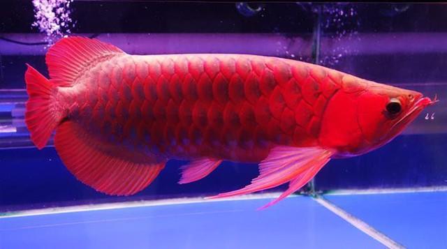 Cá rồng huyết long cũng thuộc hàng quý hiếm, đắt đỏ nhưng vẫn thua cá rồng bạch kim một bậc.