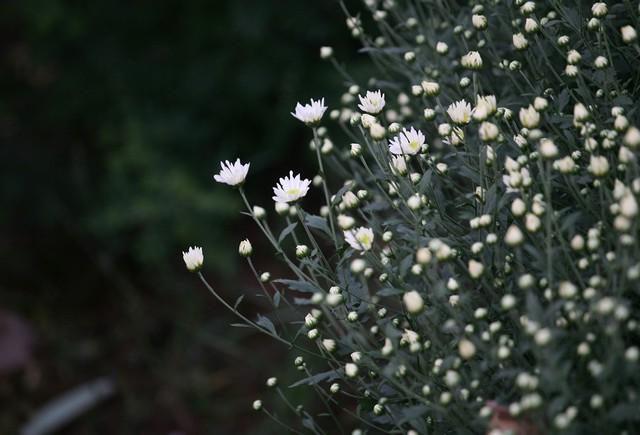 Họa mi từ lâu được người Hà Nội xem là loài hoa của tháng 11.