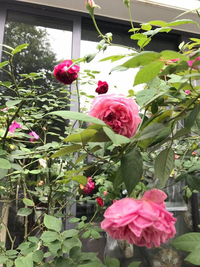 Hình ảnh vườn hoa nở rộ khoe sắc trong không gian yên bình của Mỹ Dung khiến bao người ngưỡng mộ.