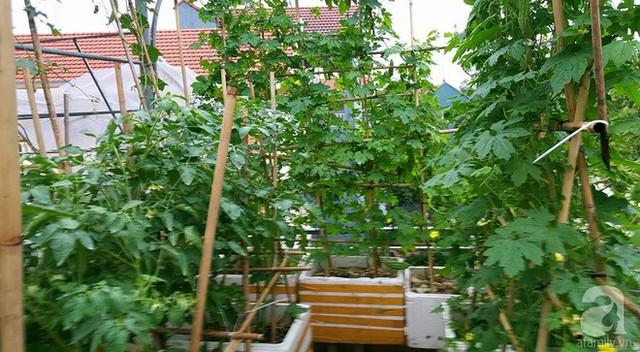 Chị Oanh dành khoảng diện tích nhiều nắng trồng cà chua.