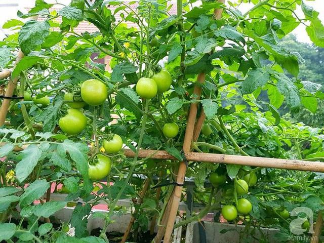 Gia đình chị rất thích ăn cà chua nên chị trồng nhiều loại cây này.