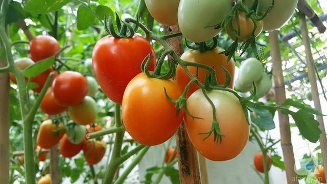 Thu hoạch cà chua.