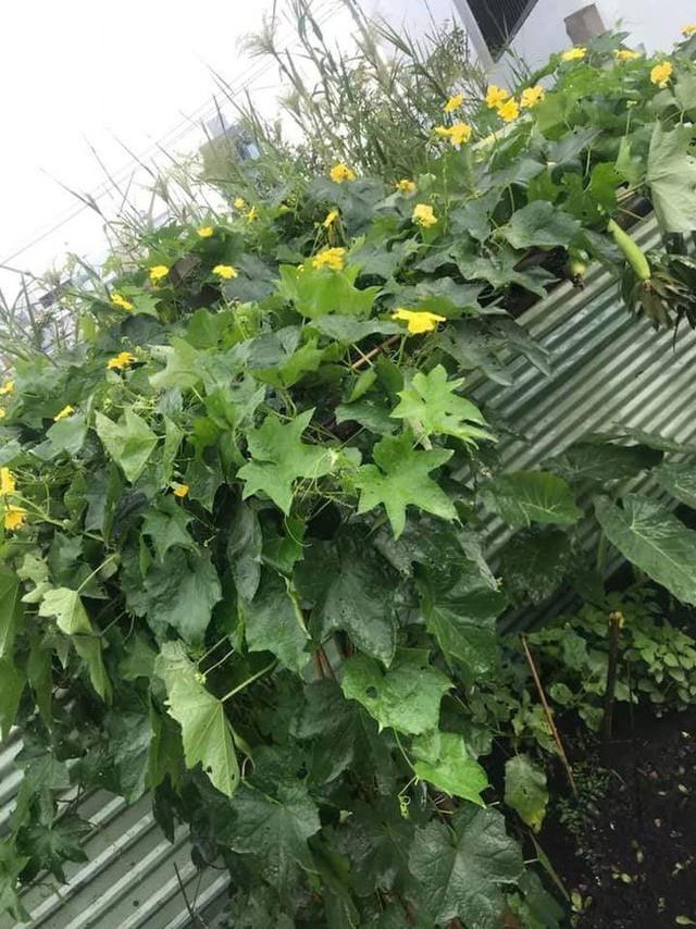 Giàn mướp hoa quả ngập tràn.