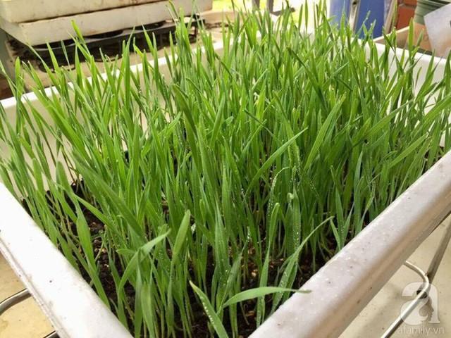 Nhận thấy lợi ích tuyệt vời của cỏ lúa mì, chị Phương (Văn Quán, Hà Nội) đã thử nghiệm và trồng thành công cỏ lúa mì ngay tại nhà.