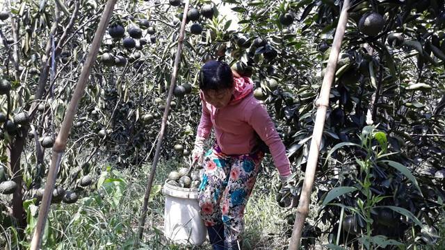 Vụ thu hoạch chính đầu tiên ông Tân đã thu về 70 tấn cam