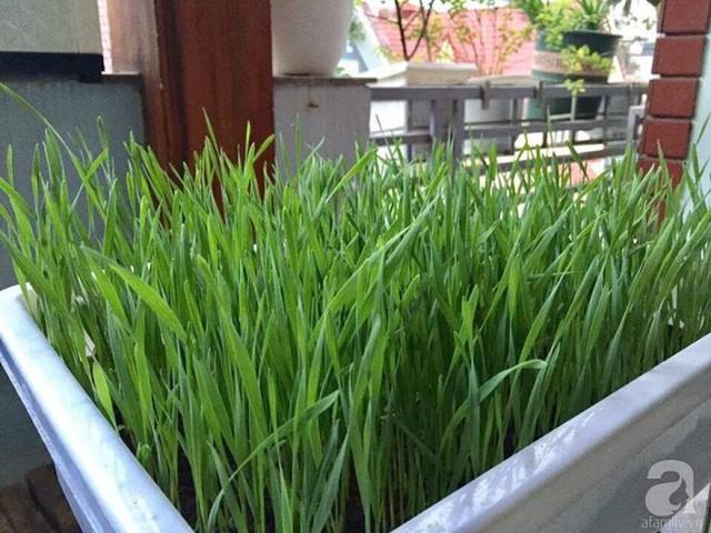 Khi cỏ lúa mì đã tốt có thể cho thu hoạch bằng cách dùng kéo, dao sắc để cắt.