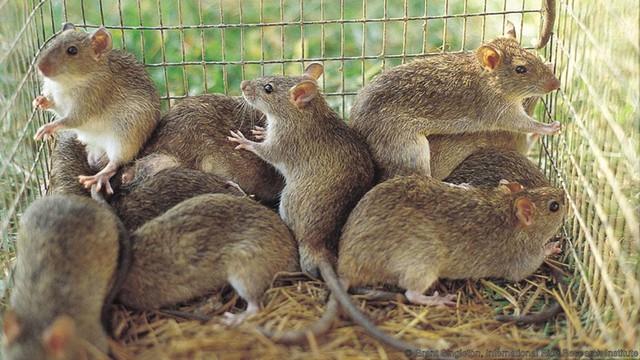 Con người chọn thịt chuột không phải vì thiếu nguồn thức ăn mà đơn giản vì họ cảm thấy ngon. Ảnh: Prof S.R. Belmain, University of Greenwich.