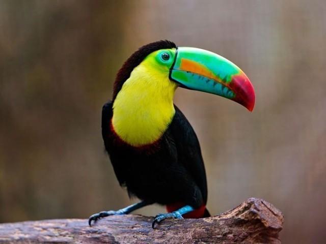 Với chiều dài tương đương một phần cơ thể, chiếc mỏ của loài chim Toucan giống như hai chiếc thuyền nhiều màu sắc úp vào nhau.
